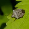 Euschistus servus euschistoides, Brown Stink Bug, Carpocorini,  Pentatomidae<br /> 3704, St-Hugues, Quebec, 24 mai 2014