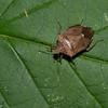 Euschistus servus euschistoides, Brown Stink Bug, Carpocorini,  Pentatomidae<br /> 3079, Granby, Quebec,1 septembre 2016