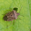 Euschistus servus euschistoides,  Brown Stink Bug<br /> 0549, St-Hyacinthe,Quebec, 23 septembre 2013