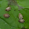 Euschistus servus euschistoides, Brown Stink Bug, Carpocorini,  Pentatomidae<br /> 4687, Parc Les Salines, St-Hyacinthe, Quebec, 11 juin 2014