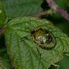 Chinavia hilaris nymphe 5 eme stade, Nezarini, Pentatomidae,  Green Stink Bug<br /> 9550, St-Hugues, Quebec, 29 aout 2014