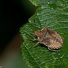 Euschistus sp. Carpocorini, Pentatomidae<br /> 7882, Parc national des Monts-Valin, Saguenay - Lac-Saint-Jean, Quebec,  22 aout 2015