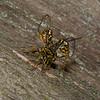 Megarhyssa macrurus lunator femelle, La Rhysse cannelle, Giant ichneumon wasp,  Rhyssinae, Ichneumonidae<br /> 5183 , Otterburn Park, Quebec, 6 juin 2015