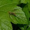 Megarhyssa macrurus lunator femelle, La Rhysse cannelle, Giant ichneumon wasp,  Rhyssinae, Ichneumonidae<br /> 5149, Otterburn Park, Quebec, 6 juin 2015