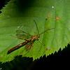 Megarhyssa greenei male, Rhyssinae<br /> 6203, Granby, Quebec, 20 juin 2016