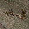 Megarhyssa macrurus lunator femelle, La Rhysse cannelle, Giant ichneumon wasp,  Rhyssinae, Ichneumonidae<br /> 5188 , Otterburn Park, Quebec, 6 juin 2015