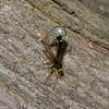 Megarhyssa atrata lineata femelle,  La Rhysse noirâtre, Rhyssinae, Ichneumonidae<br /> 5286 , Otterburn Park, Quebec, 6 juin 2015