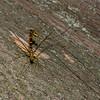 Megarhyssa macrurus lunator femelle, La Rhysse cannelle, Giant ichneumon wasp,  Rhyssinae, Ichneumonidae<br /> 5197 , Otterburn Park, Quebec, 6 juin 2015