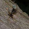 Megarhyssa atrata lineata,  La Rhysse noirâtre, Rhyssinae, Ichneumonidae<br /> 5294, Otterburn Park, Quebec, 6 juin 2015
