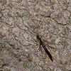 Megarhyssa atrata lineata male,  La Rhysse noirâtre, Rhyssinae, Ichneumonidae<br /> 5180 , Otterburn Park, Quebec, 6 juin 2015