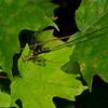 Megarhyssa macrurus lunator femelle, Rhyssinae<br /> 6888, Granby, Quebec, 30 juin 2016