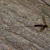 Megarhyssa atrata lineata femelle,  La Rhysse noirâtre, Rhyssinae, Ichneumonidae<br /> 5281 , Otterburn Park, Quebec, 6 juin 2015