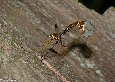 Hymenopteres  du Quebec, Ichneumonidae