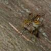 Megarhyssa macrurus lunator femelle, La Rhysse cannelle, Giant ichneumon wasp,  Rhyssinae, Ichneumonidae<br /> 5125, Otterburn Park, Quebec, 6 juin 2015