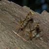 Megarhyssa macrurus lunator femelle, La Rhysse cannelle, Giant ichneumon wasp,  Rhyssinae, Ichneumonidae<br /> 5261 , Otterburn Park, Quebec, 6 juin 2015