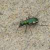 Cicindèle à taches latérales, Cicindela scutellaris, Festive tiger beetle,  Cicindelini, Cicindelinae ,Carabidae<br /> 7190, St-Louis-de-France, Quebec, 14 aout 2010
