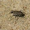 Cicindèle à 12 points  ,Cicindela duodecimguttata ,Twelve-spotted Tiger Beetle, Cicindelini, Cicindelinae ,Carabidae <br /> 1304, St-Hugues, Quebec, 27 juillet 2010