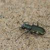 Cicindèle à taches latérales, Cicindela scutellaris, Festive tiger beetle,  Cicindelini, Cicindelinae ,Carabidae<br /> 4859 ,Contrecoeur, Quebec, 7 aout 2010