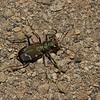 Cicindèle à 12 points  ,Cicindela duodecimguttata ,Twelve-spotted Tiger Beetle, Cicindelini, Cicindelinae ,Carabidae<br /> 0502 , Mont Rougemont, Quebec, 3 septembre 2012