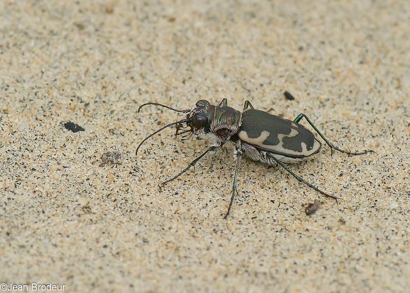 Cicindèle à grandes taches, Cicindela formosa generosa, Eastern Sand Tiger Beetle, Cicindelini, Cicindelinae ,Carabidae<br /> 7120,  St-Louis-de-France, Quebec, 14 aout 2010