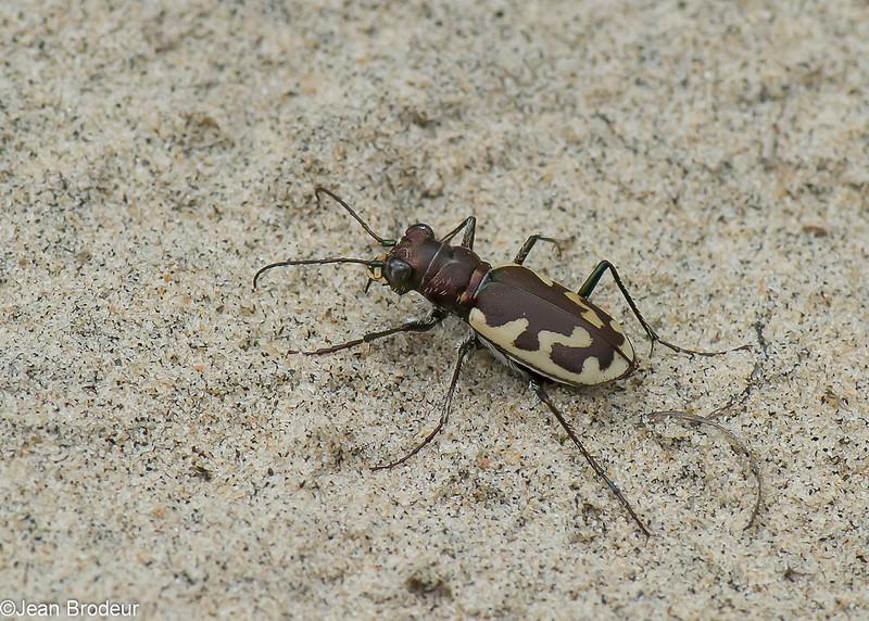 Cicindèle à grandes taches, Cicindela formosa generosa, Eastern Sand Tiger Beetle, Cicindelini, Cicindelinae ,Carabidae<br /> 7221,  St-Louis-de-France, Quebec, 14 aout 2010