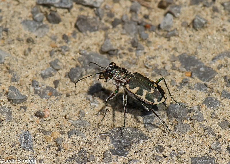 Cicindèle à grandes taches, Cicindela formosa generosa, Eastern Sand Tiger Beetle, Cicindelini, Cicindelinae ,Carabidae<br /> 7855,  St-Louis-de-France, Quebec, 20 aout 2010