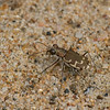 Cicindèle commune ,Cicindela repanda ,Bronzed Tiger Beetle, Cicindelini, Cicindelinae ,Carabidae <br /> 6950, Trois-Rivieres, Quebec, 14 aout 2010