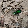 Cicindèle à six points ,Cicindela sexguttata, Cicindelini, Cicindelinae ,Carabidae <br /> 4256, Granby, Quebec, 2 mai 2015
