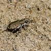 Cicindèle commune ,Cicindela repanda ,Bronzed Tiger Beetle, Cicindelini, Cicindelinae ,Carabidae<br /> 5771, Sorel ,Quebec, 11 aout 2010