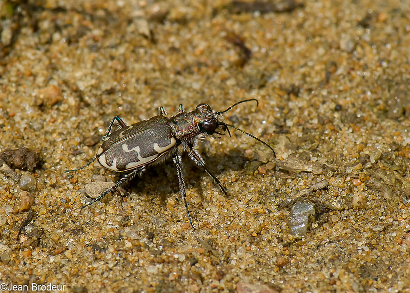 Cicindèle commune ,Cicindela repanda ,Bronzed Tiger Beetle, Cicindelini, Cicindelinae ,Carabidae<br /> 0709, St-Hugues, Quebec, 22 juillet 2010