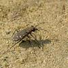Cicindèle à 12 points  ,Cicindela duodecimguttata ,Twelve-spotted Tiger Beetle, Cicindelini, Cicindelinae ,Carabidae<br /> 4215, St-Hugues, Quebec, 5 aout 2010