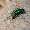 Cicindèle à six points ,Cicindela sexguttata, Cicindelini, Cicindelinae ,Carabidae <br /> 1737, St-Hugues, Quebec, 5 mai 2010
