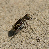 Cicindèle à ligne oblique  ,Cicindela tranquebarica, Oblique-lined Tiger Beetle, Cicindelini, Cicindelinae ,Carabidae<br /> 7689,  St-Louis-de-France, Quebec, 20 aout 2010