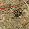 Cicindèle commune ,Cicindela repanda ,Bronzed Tiger Beetle, Cicindelini, Cicindelinae ,Carabidae<br /> 0396, St-Hugues, Quebec, 20 juillet 2010
