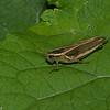 Melanoplus bivittatus femelle, , Two-striped grasshopper, Melanoplini, Acrididae<br /> 2380, Jardin Botanique, Montreal, Quebec, 15 aout 2016