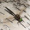 Somatochlora cingulata male, Cordulie ceinturée, Lake emerald ,  Corduliidae<br /> 6665, Pourvoirie des Laurentides, Lac St-Jean, Quebec, 21 juillet 2013