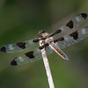 Libellula pulchella male, Gracieuse, Twelve-spotted skimmer<br /> 9095, St-Hugues, Quebec, 21 aout 2013
