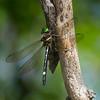 Macromia illinoiensis male, Macromie noire, Swift river cruiser, Macromiidae ,Cruisers<br /> 7256, Parc-nature du Bois-de-l'Île-Bizard, Montreal, Quebec, 27 juillet 2013