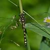 Cordulegaster obliqua obliqua male, Cordulégastre oblique , Arrowhead spiketail,  Cordulegastridae , Spiketails<br /> 6204, Parc Les Salines , St-Hyacinthe , Québec, 15 juin 2010