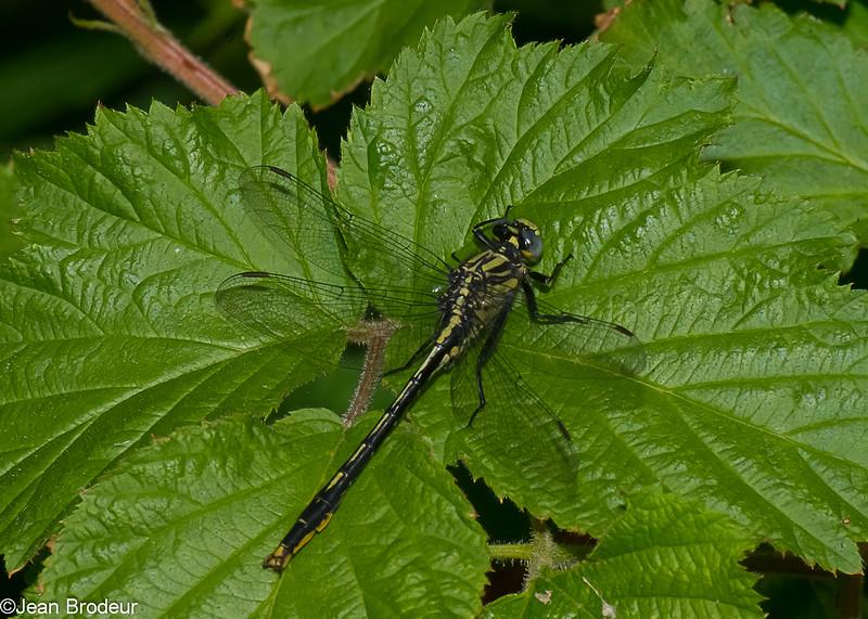 Arigomphus cornutus male, Gomphe cornu, Horned clubtail, Gomphidae<br /> 5043, Granby, Quebec, 5 juin 2015