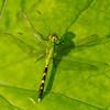 Erythemis simplicicollis male immature, Erythème des étangs, Eastern pondhawk<br /> 5978, Lac Boivin,Granby, Quebec, 16 juillet 2013