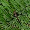 Epitheca princeps femelle, Epitheque princiere, Prince Baskettail, Corduliidae<br /> 5374, Granby, Quebec, 7  juin 2016