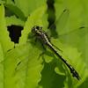 Gomphus fraternus femelle, Gomphe fraternel, Midland clubtail, Gomphidae<br /> 2402, St-Hugues ,Quebec,10 juin 2013
