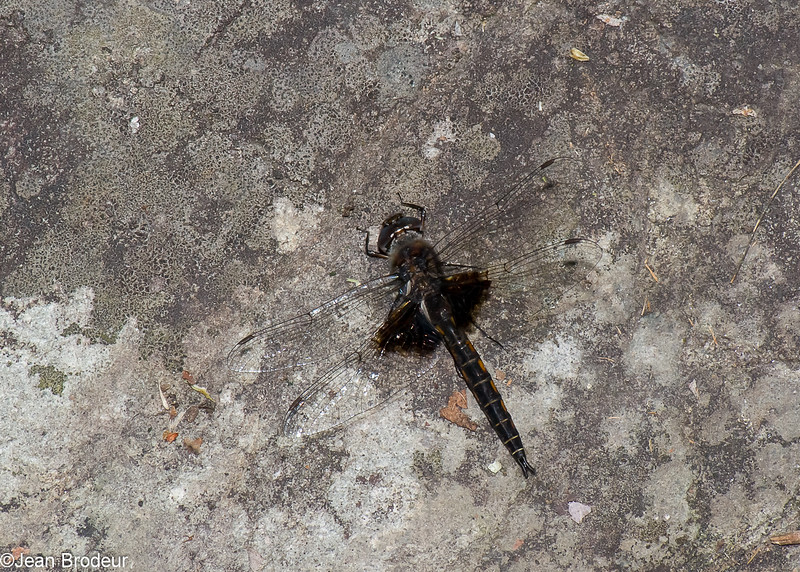 Epitheca cynosura male, Epithèque à queue de beagle, Common baskettail,  Corduliidae<br /> 4796, Granby, Quebec, 31 mai 2016