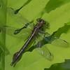 Arigomphus cornutus femelle, Gomphe cornu, Horned clubtail, Gomphidae<br /> 2382, St-Hugues ,Quebec,10 juin 2013
