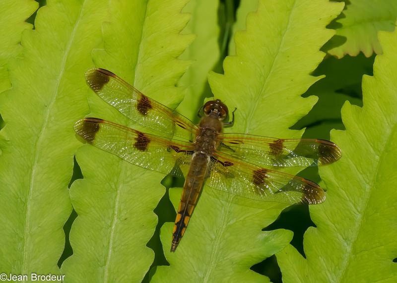 Libellula semifasciata male, La  chaleureuse  ,  (Painted Skimmer),  Libellulidae <br /> 4239, St-Hugues, Quebec , 4 juin 2014