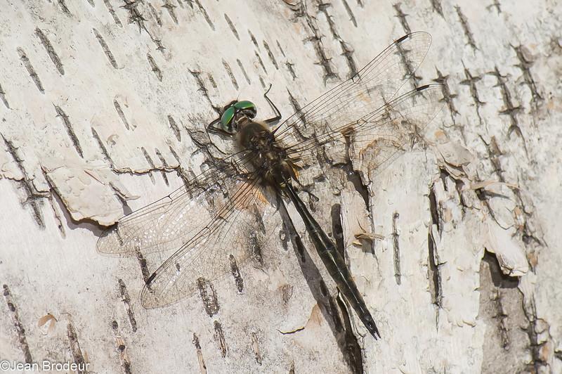 Somatochlora minor male, Cordulie mineure, Ocellated emerald, Corduliidae<br /> 6730, Pourvoirie des Laurentides, Lac St-Jean, Quebec, 21 juillet 2013