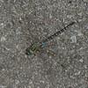Aeshna tuberculifera, Aschne à tubercules  Black-tipped darner<br />  8410.2, Hemmingford, Quebec, 14 juillet 2014