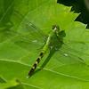 Erythemis simplicicollis male, Erythème des étangs, Eastern pondhawk<br /> 5442, Parc de la Frayère, Boucherville, Quebec, 11 juillet 2013