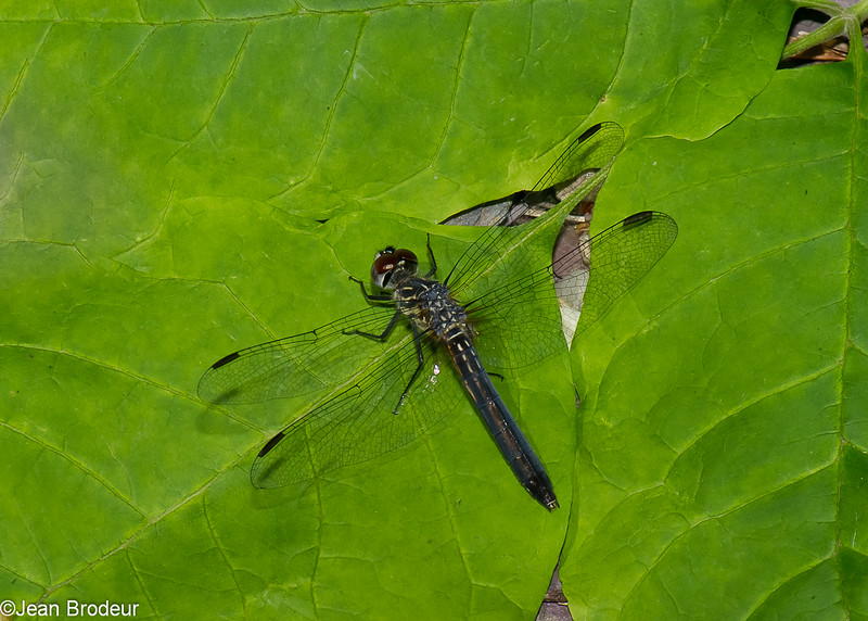 Pachydiplax longipennis femelle, Le pachydiplax, Blue Dasher,  Libellulidae<br /> 5817, Granby, Quebec, 14  juin 2016